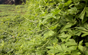 Giảo cổ lam – cây thuốc quý với nhiều tác dụng cho sức khỏe